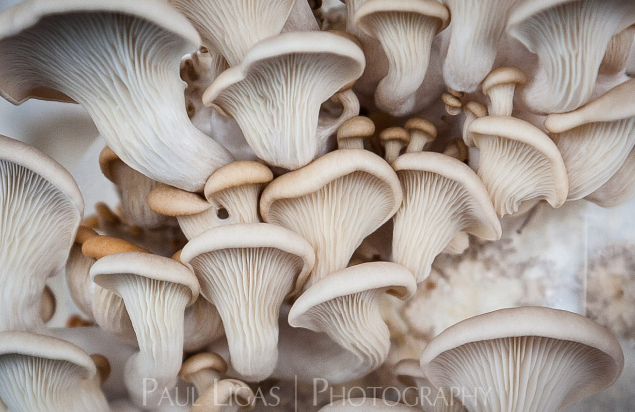 Mushrooms, agriculture photographer photography farming herefordshire 3008