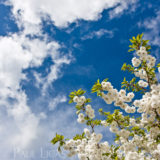 Crab Apple Blossom, landscapes and nature photographer photography herefordshire 0800