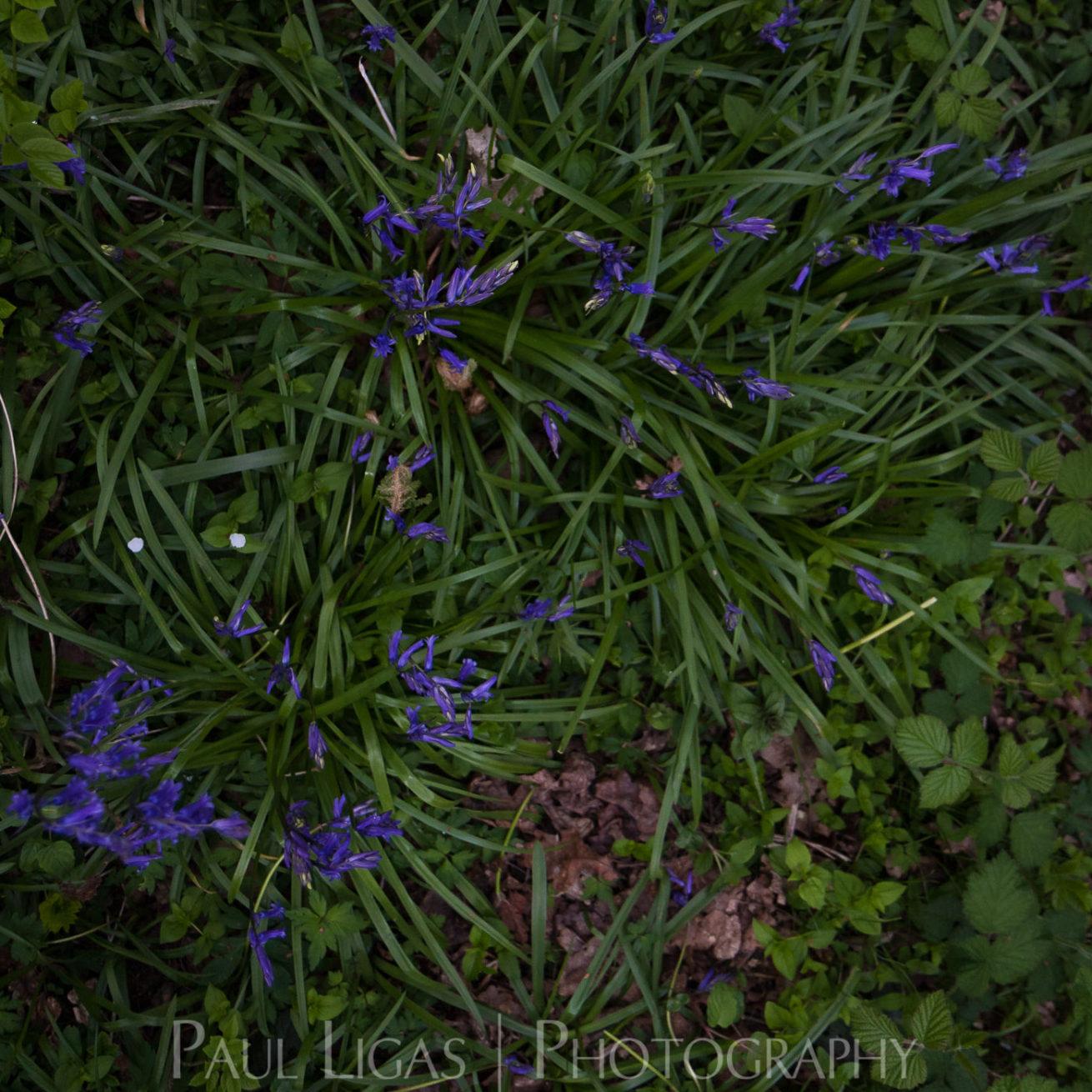 Bluebells in Dog Hill Wood, Ledbury, Herefordshire nature photographer photography landscape 7059