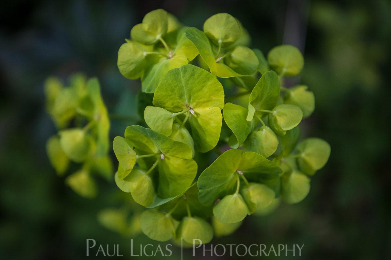 Euphorbia in Dog Hill Wood, Ledbury, Herefordshire nature photographer photography landscape 7086