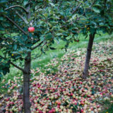 Townend Hop Farm, Herefordshire agriculture farming photographer photography cider apples 4601