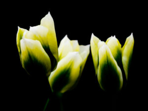 Paul Ligas Photography Print Yellow Tulips 3