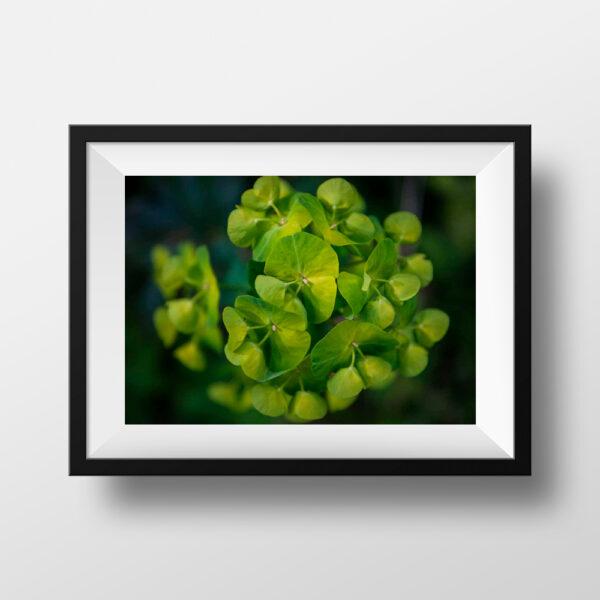 Paul Ligas Photography Print flowering euphorbia mock up