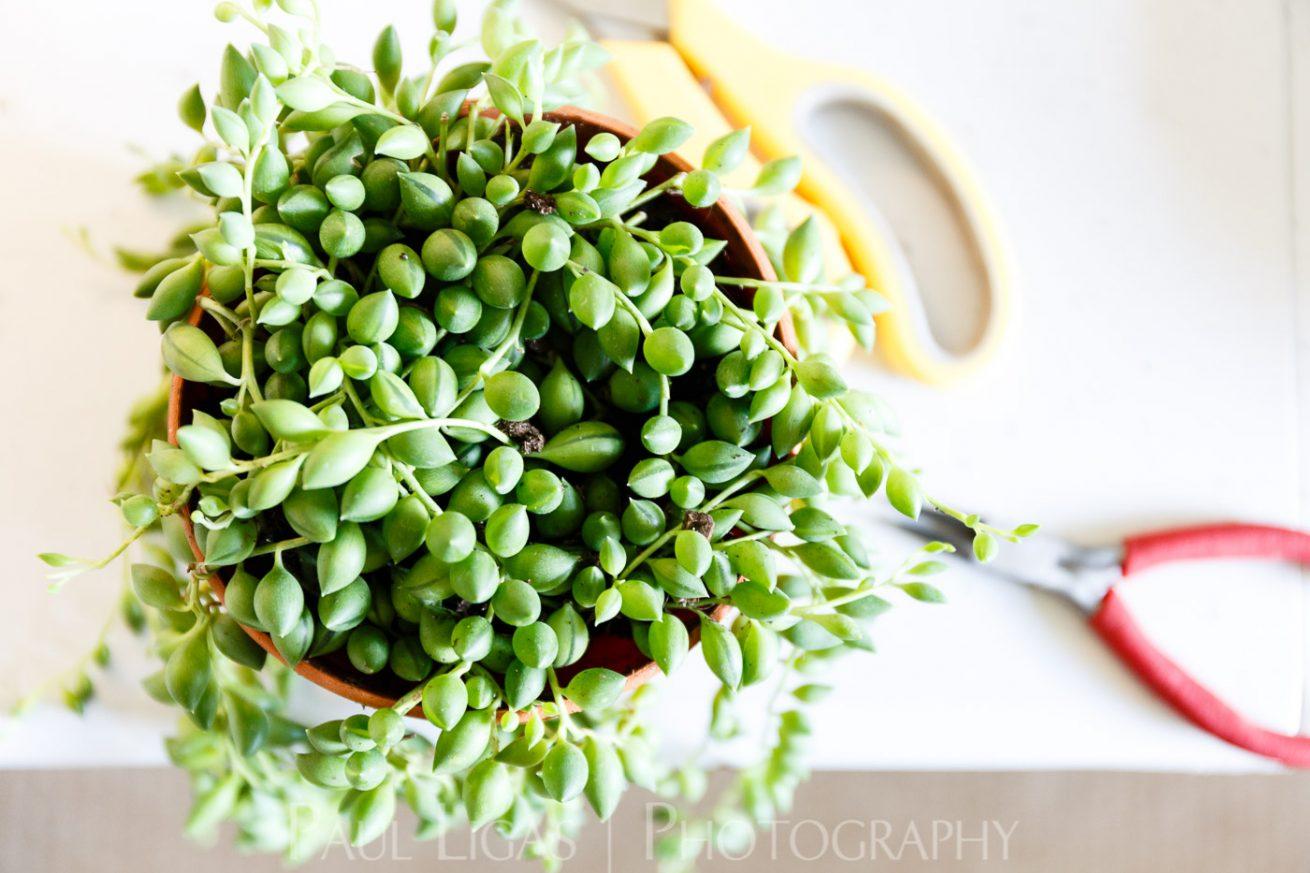 Spiffy Daisy plants kokedama product lifestyle photographer photography Herefordshire-6047