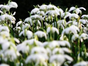 paul ligas photography print spring snowdrops