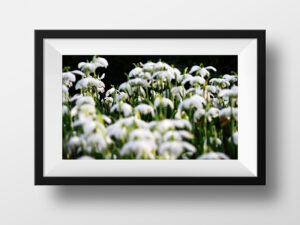 paul ligas photography print spring snowdrops mockup