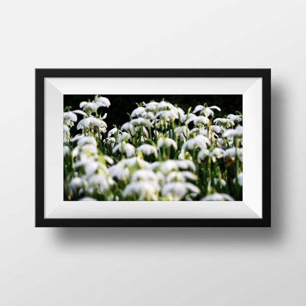 paul ligas photography print spring snowdrops mockup