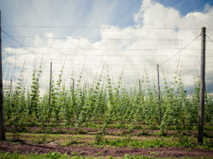paul ligas photography print June Hop Yard in Herefordshire