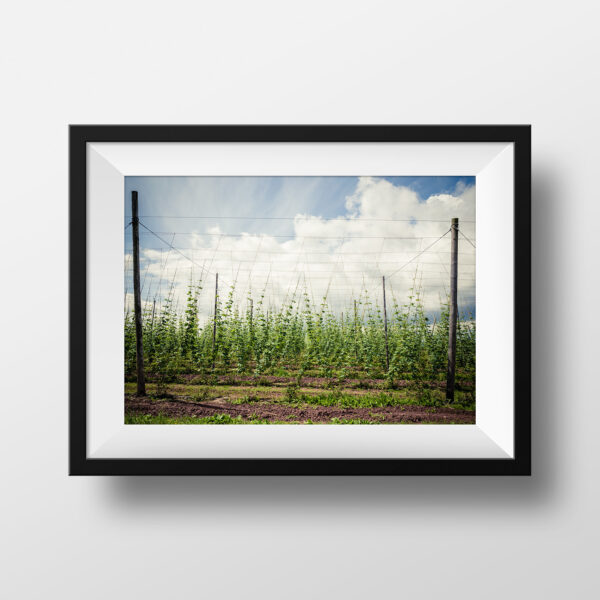 paul ligas photography print June Hop Yard in Herefordshire mockup