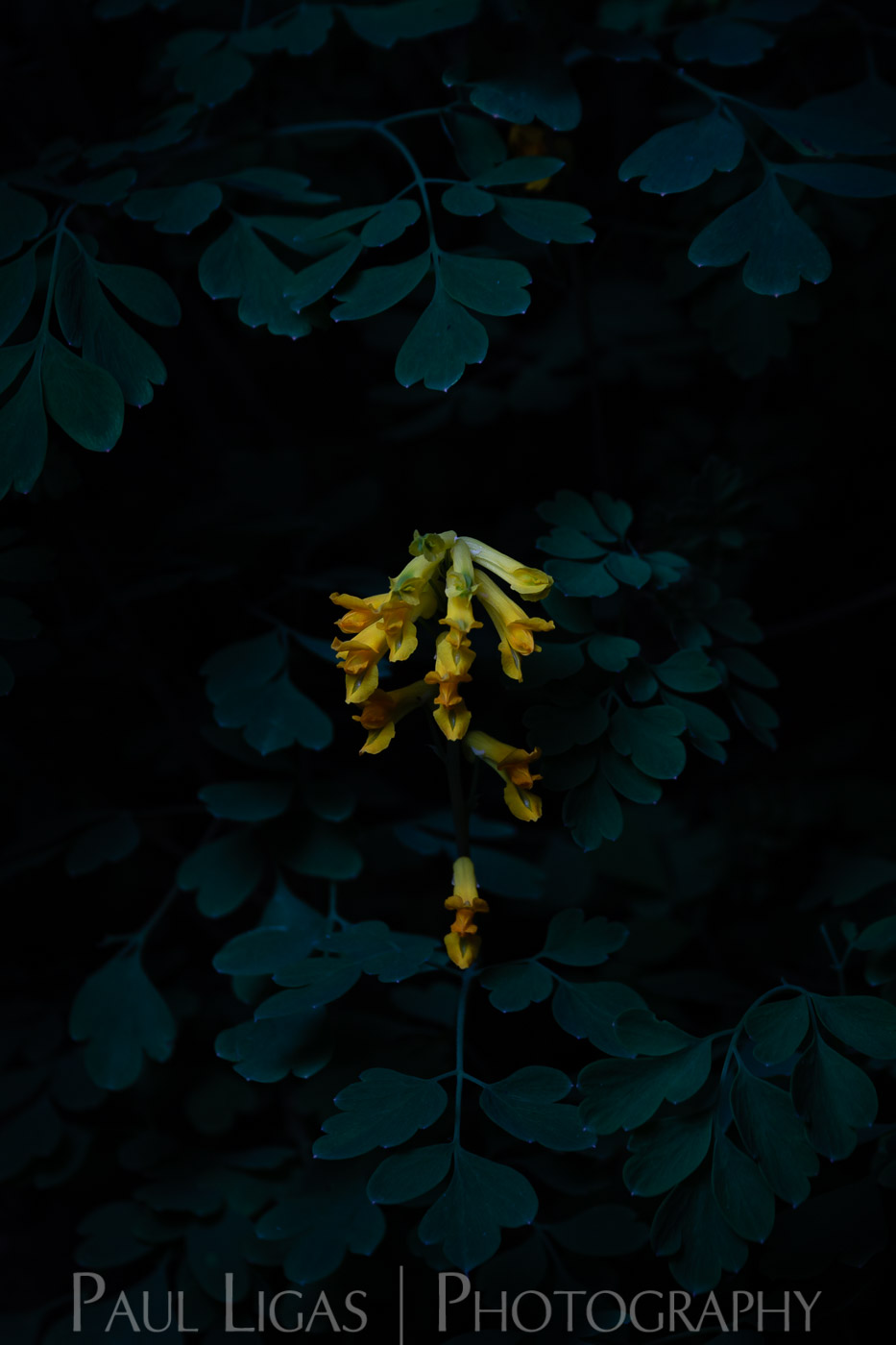 Portraits of Wildflowers at Night - Paul Ligas Photography Herefordshire - Birds-Foot Trefoil-5748